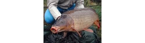 Pesca Carpa